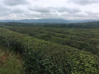 Organic Tea Garden Planted by Mixed Tea Cultivar
