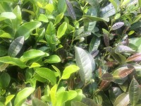 What is Mixed Tea Cultivar