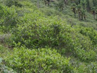 The Tea Cultivars in Tong Mu Guan