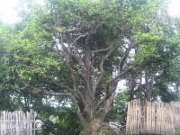 Single Old Tree Pu-erh Tea Pre-booking