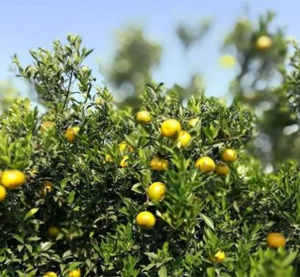 Chenpi (Aged Orange Peel)
