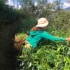 Organic Yunnan Black Tea Dian Hong Jin Hao GFOP