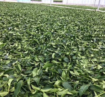 Organic Wuyi Shui Xian Oolong Tea