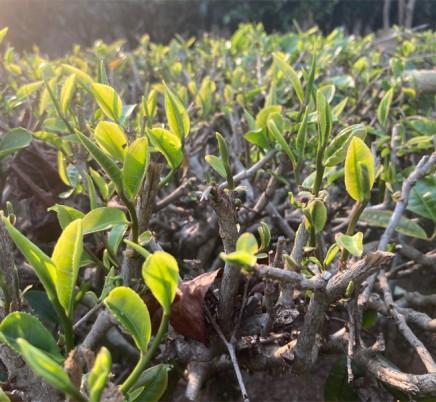 Organic Yunnan Green Tea (Dian Lv)