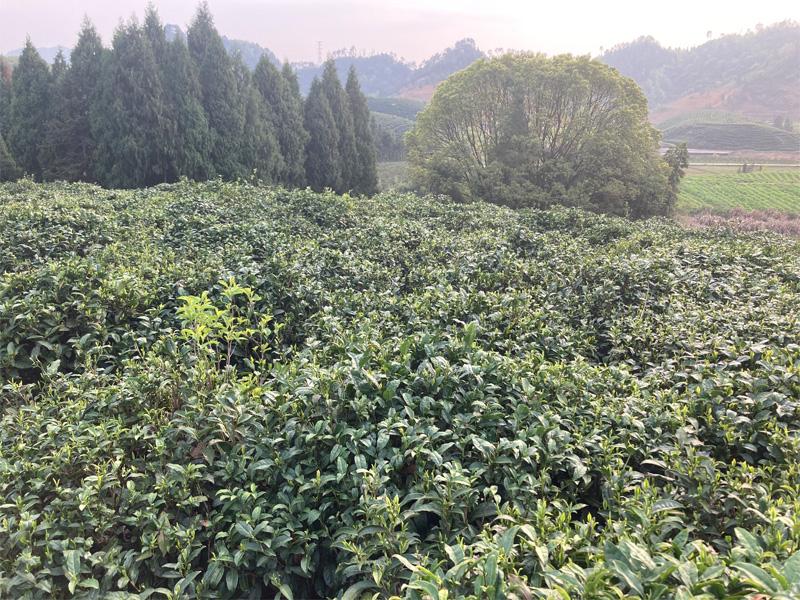 Organic Long Jing 1