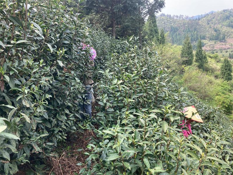 Organic Long Jing 11