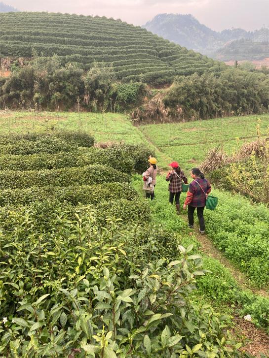 Organic Long Jing 17