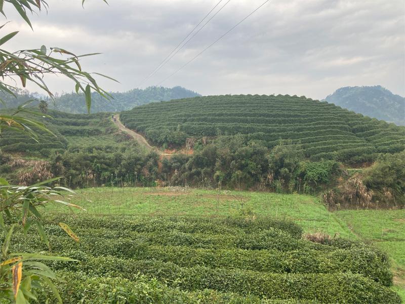 Organic Long Jing 3
