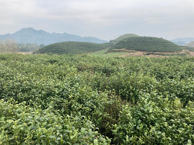 Organic Long Jing 4