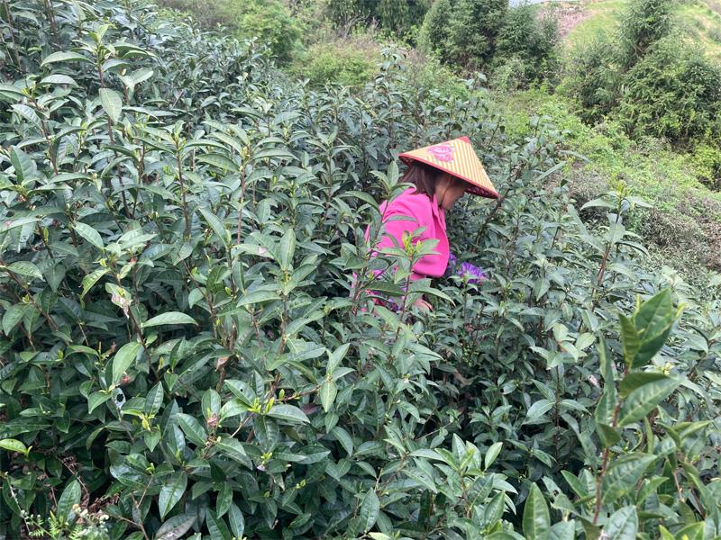 Organic Long Jing 9