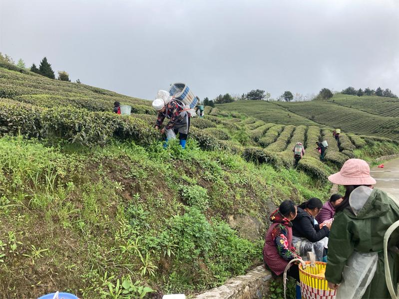 Hign Mountain Bi Luo Chun 1