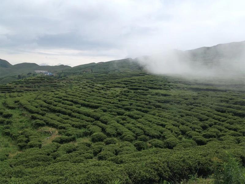 Organic Bai MU Dan Tea Garden 2