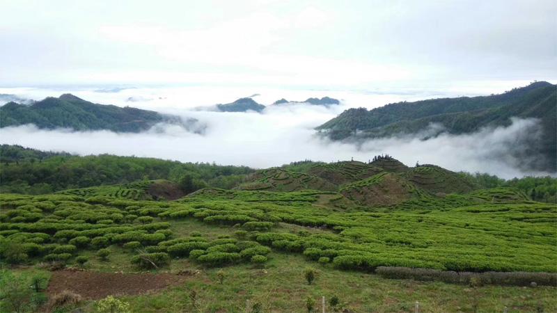 Organic Bai mu Dan Tea Garden 3