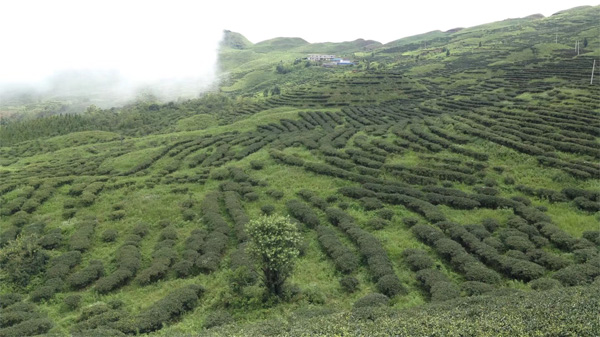 Organic White Peony Tea Garden