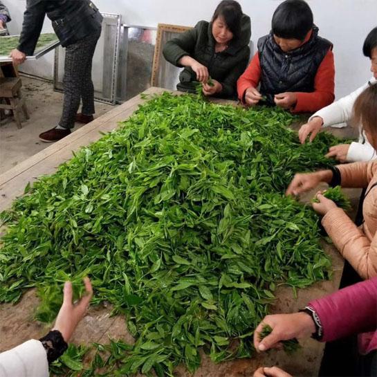 Tai Ping Hou Kui Fresh Leaf Sorting