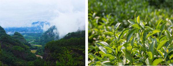 Wuyi Da Hong Pao Tea Garden