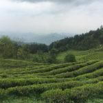 High Mountain Tea Garden