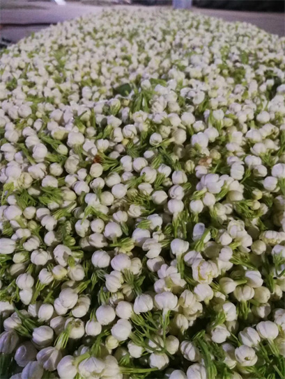 2018 first day jasmine scenting