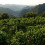 Lushan Yun Wu Tea Garden