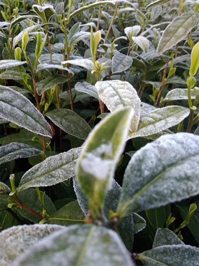 Second time of frost damage in North Fujian White Tea gardens