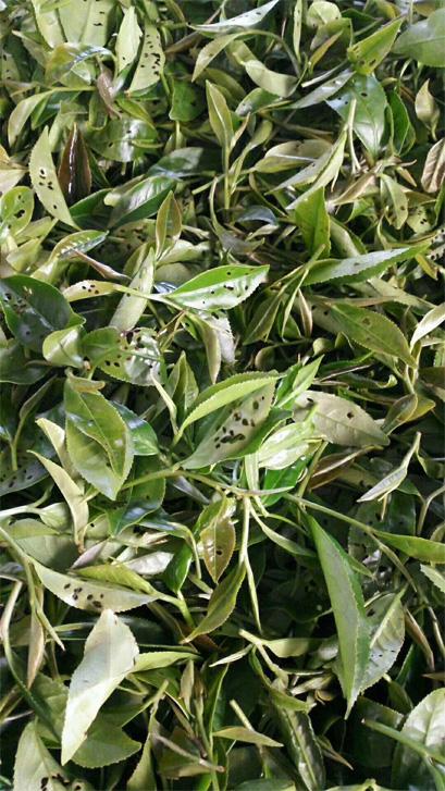 Ecological Tea garden