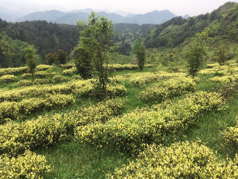 Anji Bai Cha Tea Garden