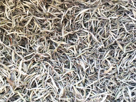 Old Tree Silver Needle Gu shu Yin Zhen