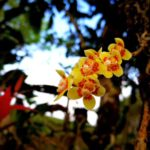 Orchid grows on tea tree