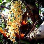 Orchid grows on tea tree 1