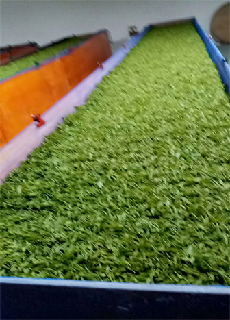 An organic Long Jing Tea Plant in Hangzhou