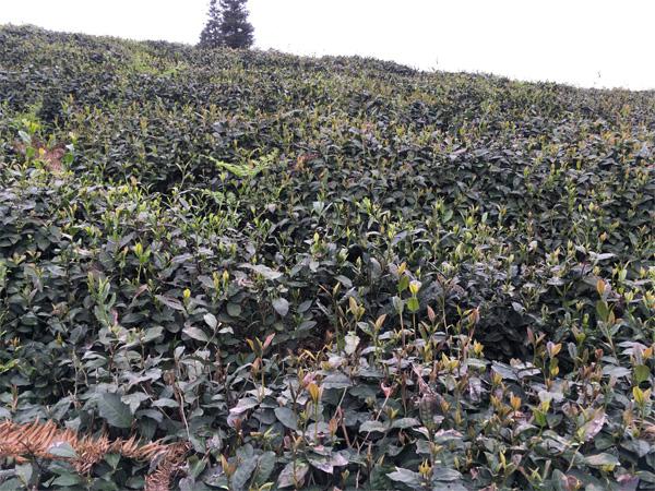 A Green Tea Cultivar Shiqiantaicha