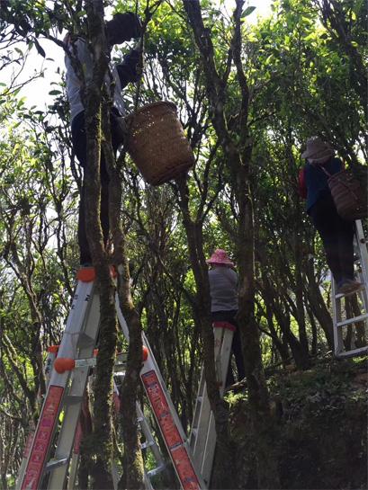 The Plucking of Lao Cong Mi Lan Xiang