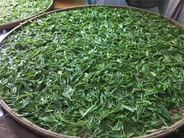 Traditional Processing of Chinese Green Tea