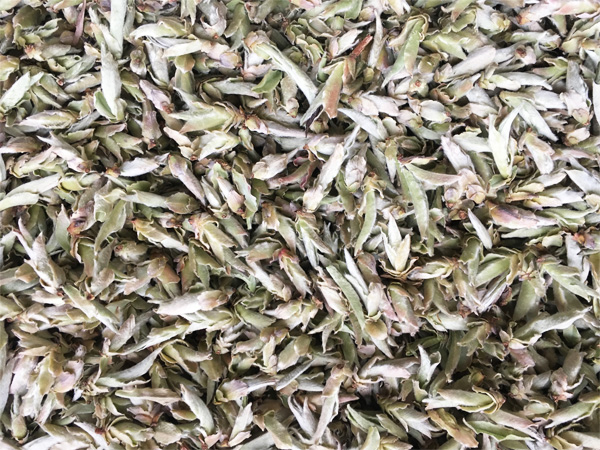 White Tea Bud