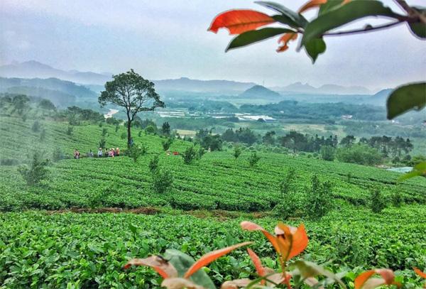 Yingde Black Tea 1