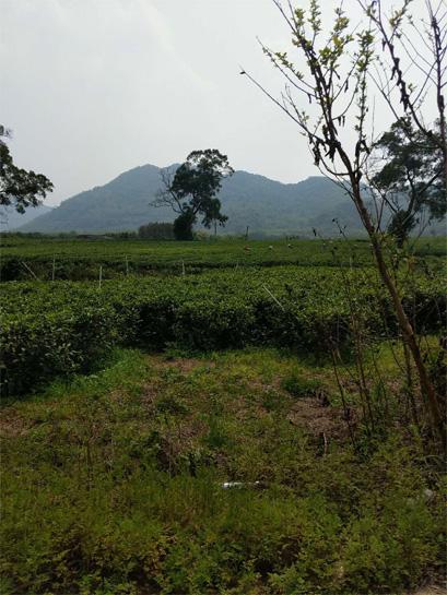 Yingde Black Tea Garden