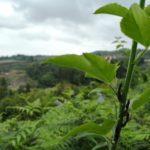 An organic Tea Garden in Guizhou Province
