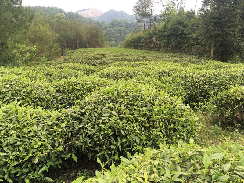 An orgnic Tea Garden in West Hunan