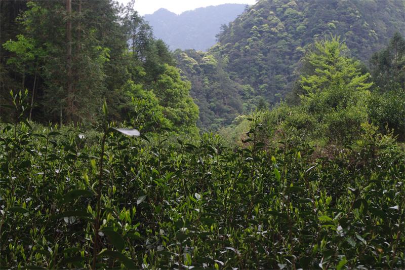 Tong Mu Guan Lapsang Souchong