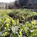 An Ecological Tea Garden