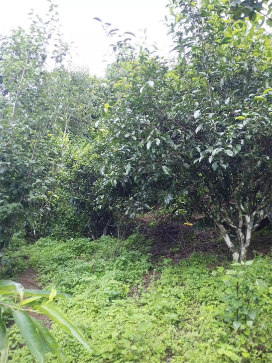 Jing Mai Old Tea Garden