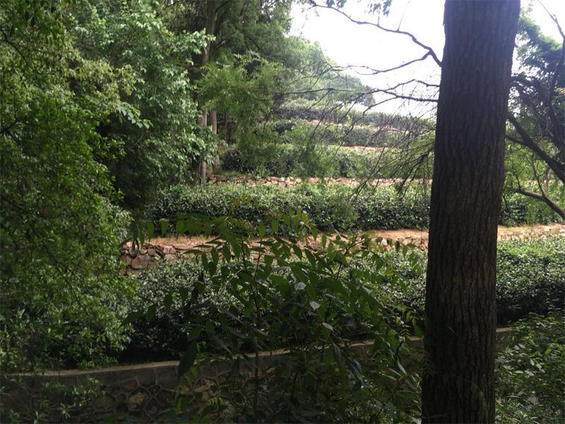 Junshan Tea Garden