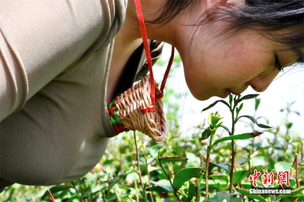 Plucking Tea by Mouth and Lip