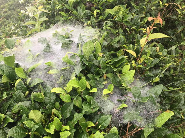 Spiders in the ecological tea garden
