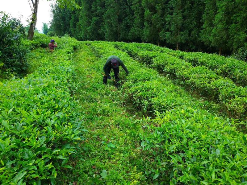 Weed control in an Organic Tea Garden