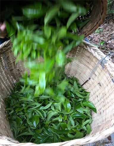 Bing Dao Pu-erh Tea 7