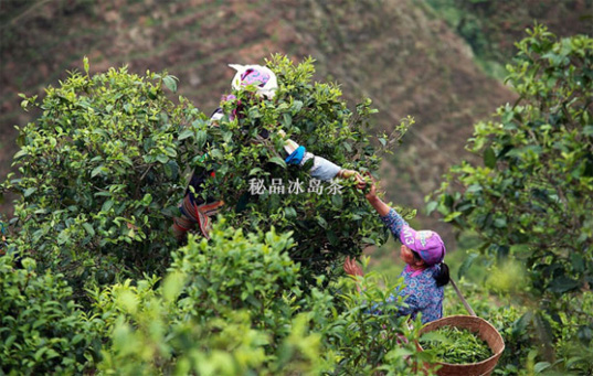 Bing Dao Pu-erh Tea 9