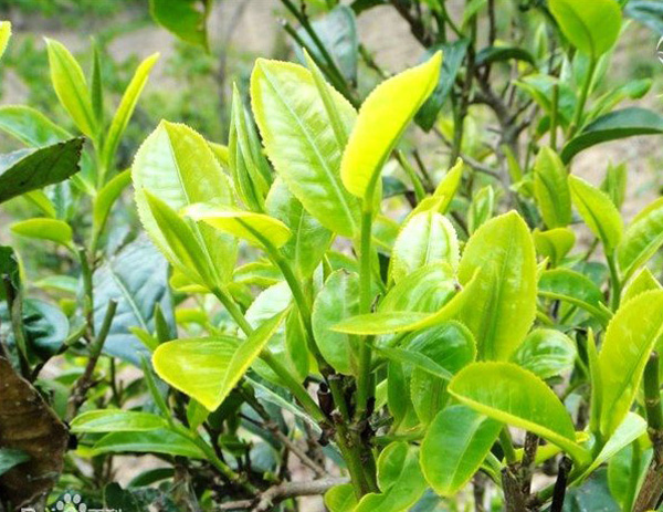 Bing Dao Pu-erh Tea 1