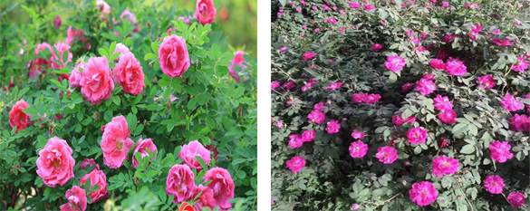 Rose damas and common roses