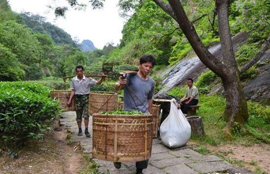 The Shoulder Transportation of Wuyi Rock Tea